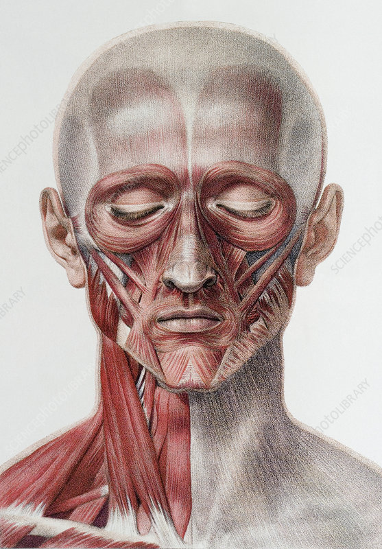 Head and neck muscles