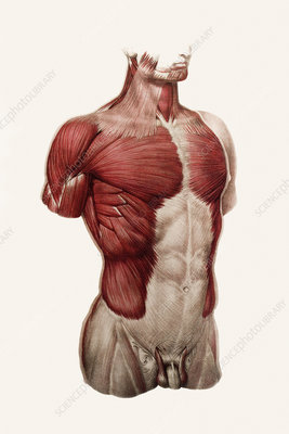 Thoracic and abdominal muscle