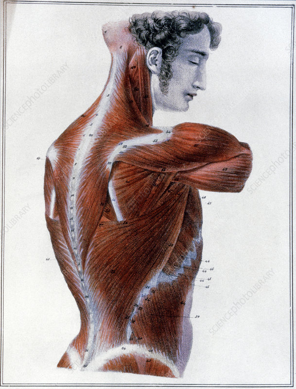 Muscles of the side and back