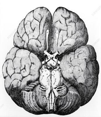 Illustration of Blood supply to the brain,C.Wren
