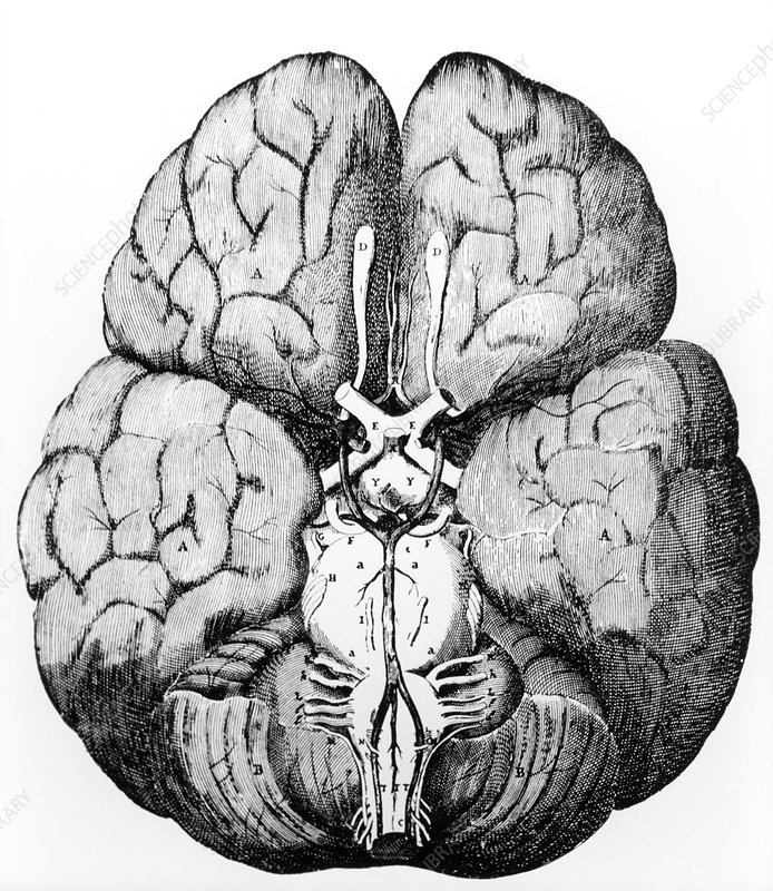 Illustration of Blood supply to the brain,C.Wren