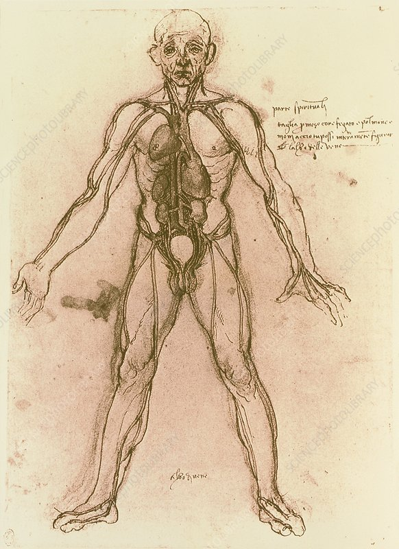 Drawing of human venous system (Leonardo da Vinci)
