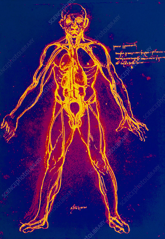 Drawing Of Human Venous System Leonardo Da Vinci Stock Image