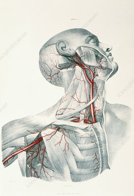 Neck arteries