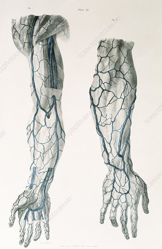 Arm veins - Stock Image N200/0029 - Science Photo Library