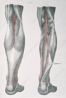 Lower leg arteries