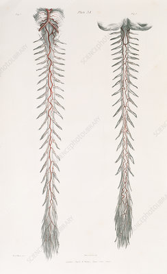 Spinal arteries