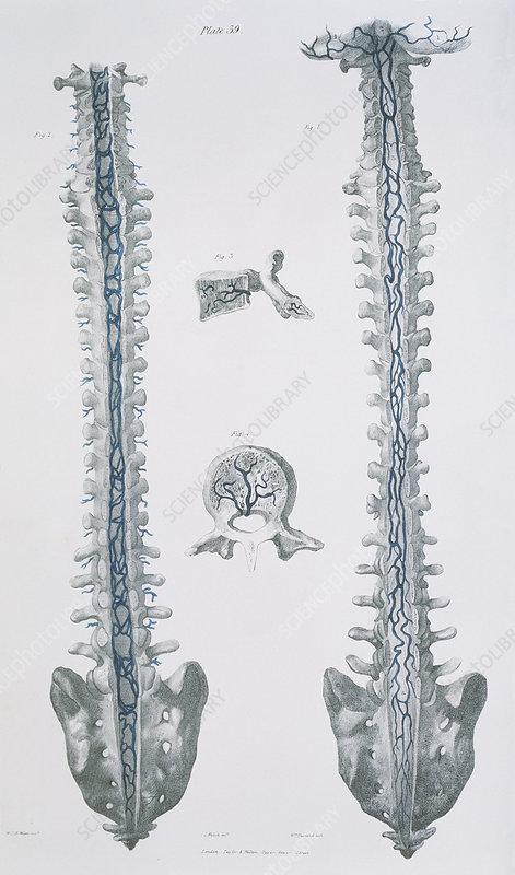 Spinal veins