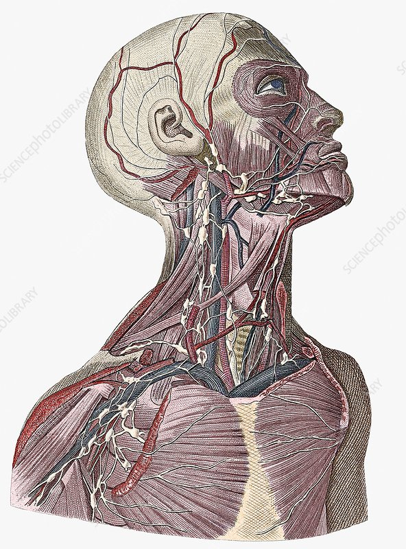 Head And Neck Blood Vessels Stock Image N2000047 Science Photo