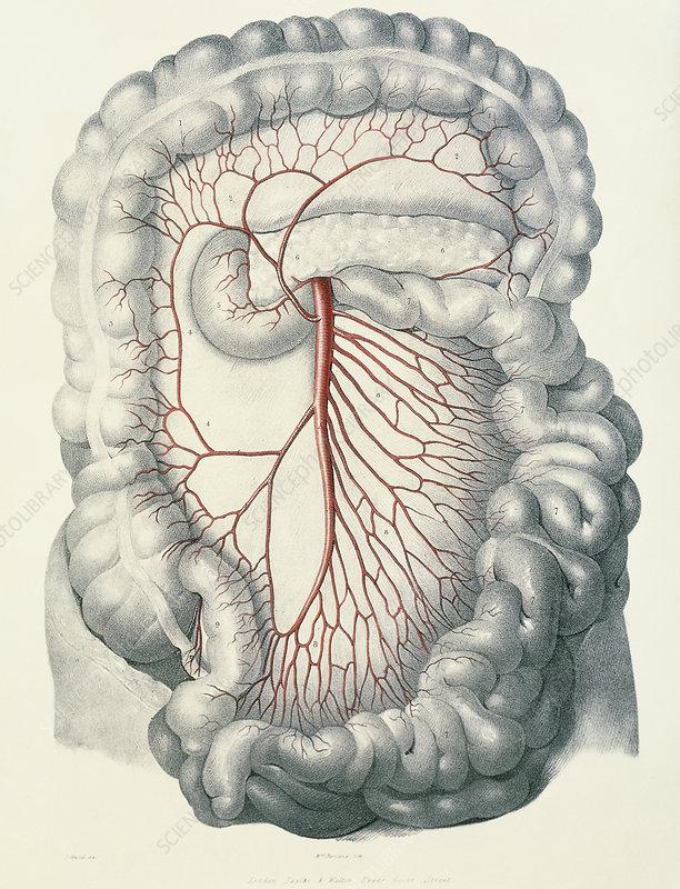 Intestinal arteries