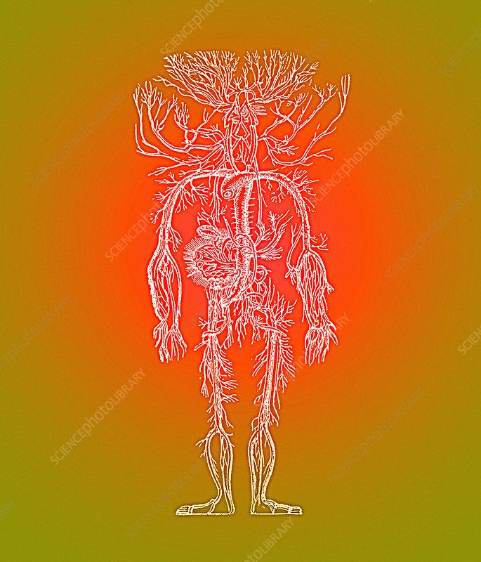 Human blood vessels