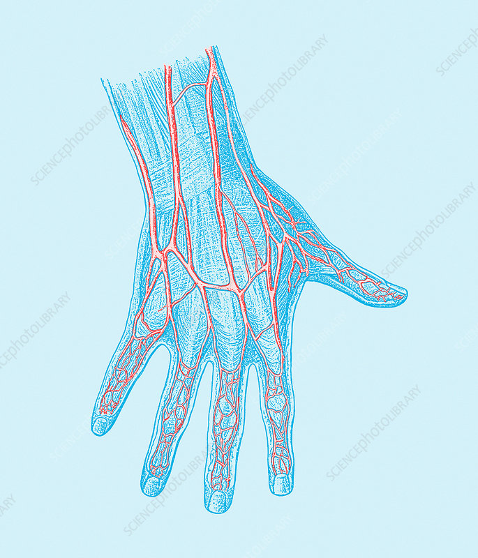 Hand blood vessels