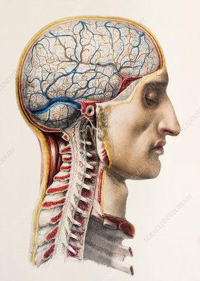 Brain blood vessels