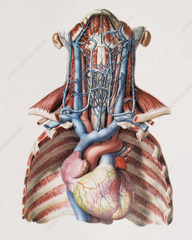 Heart And Neck Blood Vessels