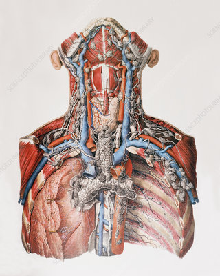 Lymph vessels of the neck