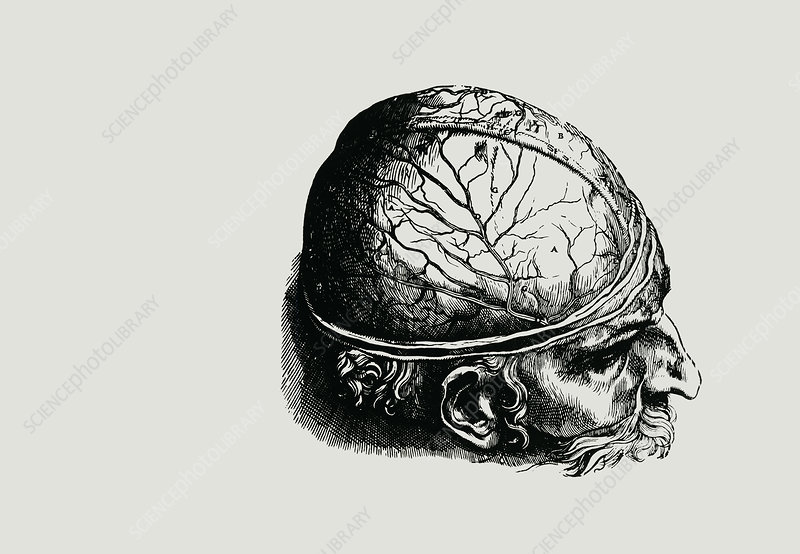 Engraving of historical brain dissection