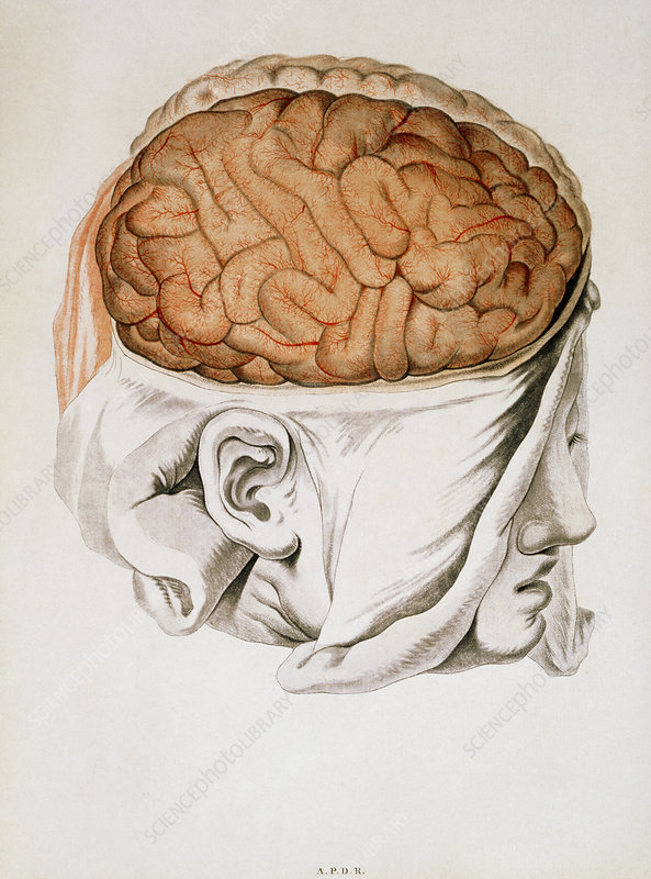 Medical illustration of the brain, 1786.