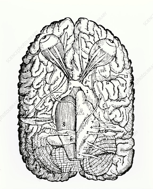 Diagram of base of brain with optic nerves, 1573