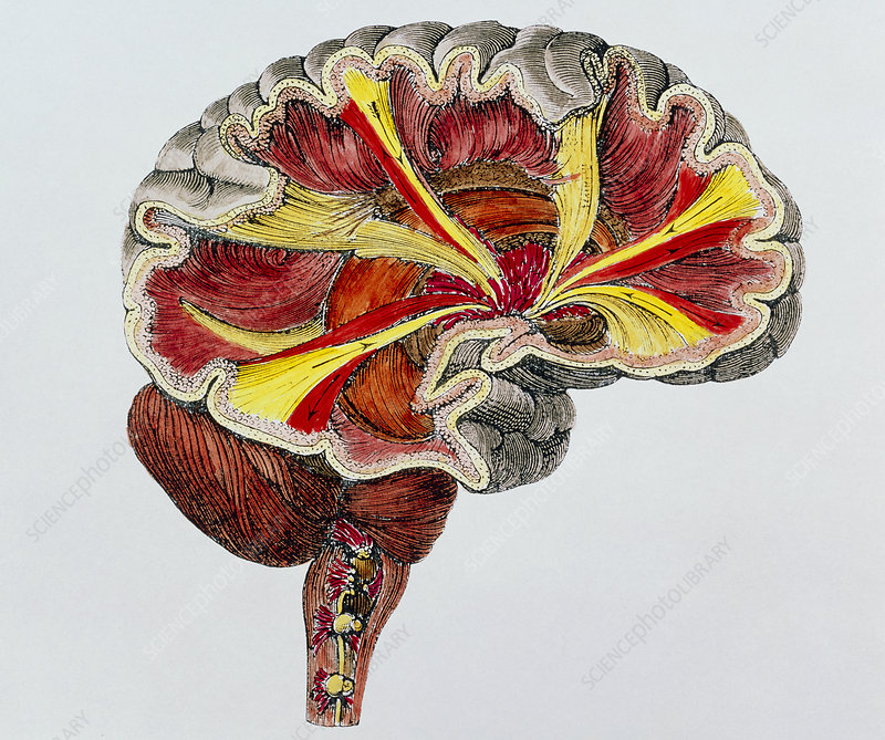 Coloured engraving of a cross-section of the brain
