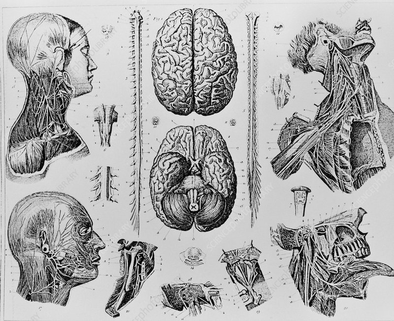 Historial artwork of parts of the nervous system