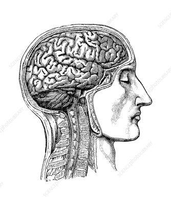 Brain, historical artwork