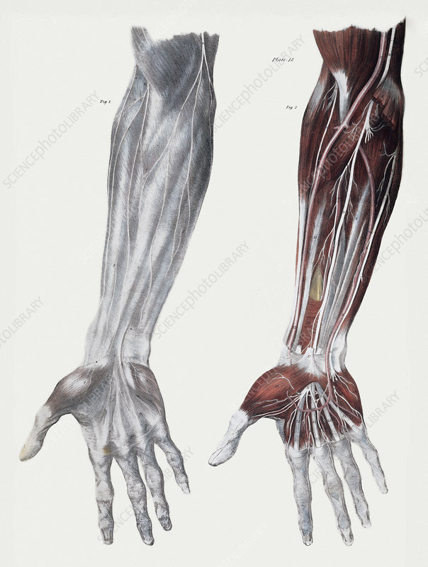 Arm Nerves Stock Image N2490027 Science Photo Library