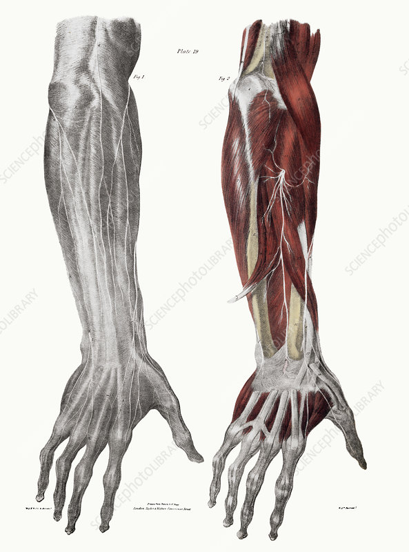 Arm Nerves Stock Image N2490028 Science Photo Library