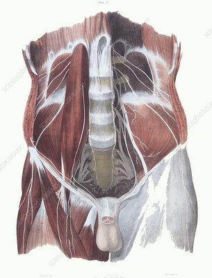 Abdominal spinal nerves