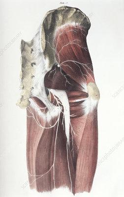 Pelvic spinal nerves