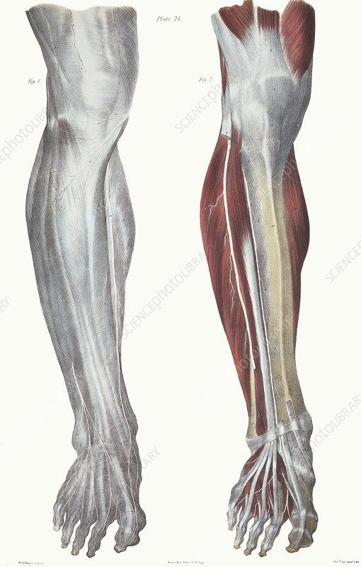 Leg nerves