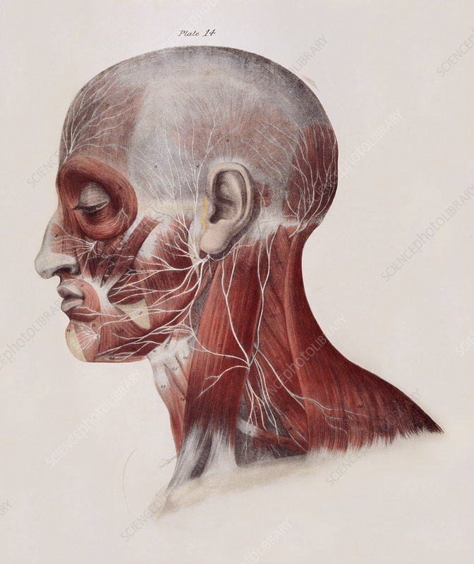 Facial nerves - Stock Image N249/0037 - Science Photo Library