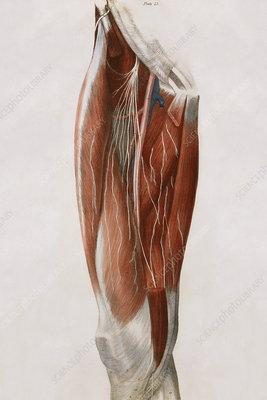Thigh nerves