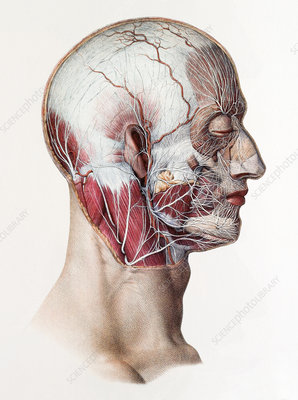 Neck and facial nerves