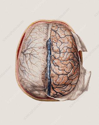 Brain meninges