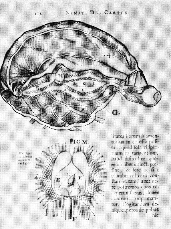 Brain and Pineal Gland