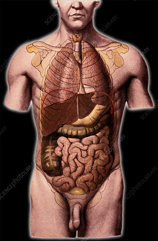 Torso Anatomy - Stock Image N275/0013 - Science Photo Library