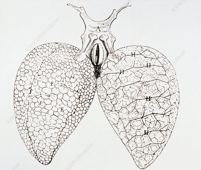 Illustration from Malpighi's book On the Lungs