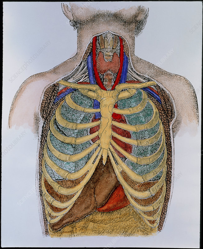 Historical artwork of organs in the human thorax