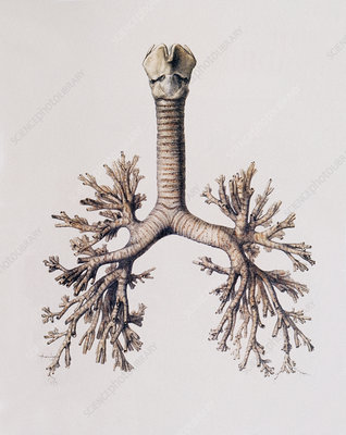 Trachea and lung bronchi
