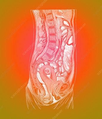 Female abdominal anatomy