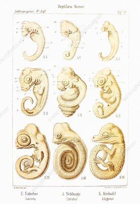 Embryonic development, historical artwork