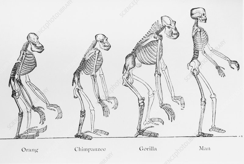 Historical artwork of various primate skeletons