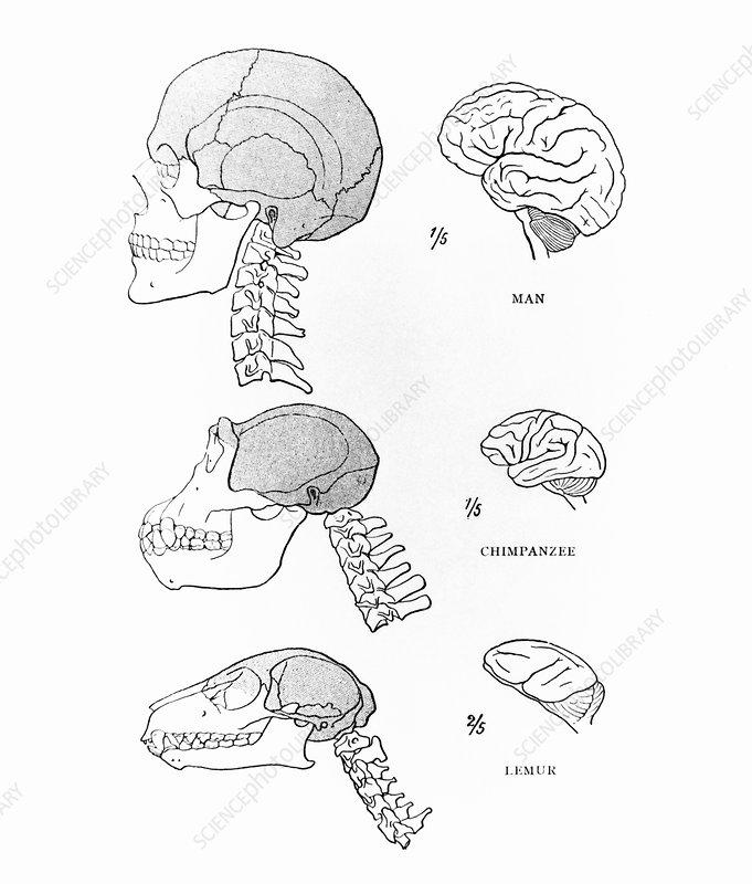 Primate brains