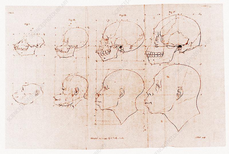 Ape skulls