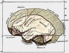 Human and gorilla brains