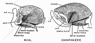 Human and chimpanzee jaws