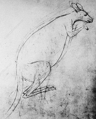 Kangaroo sketch, 1770