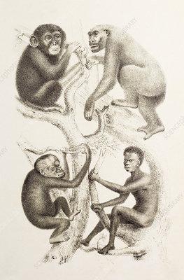 Artwork of four apes, 1874