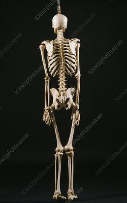Axial Skeleton,posterior view
