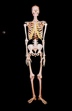 Frontal view of female human skeleton